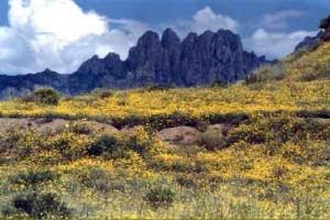 The desert abloom